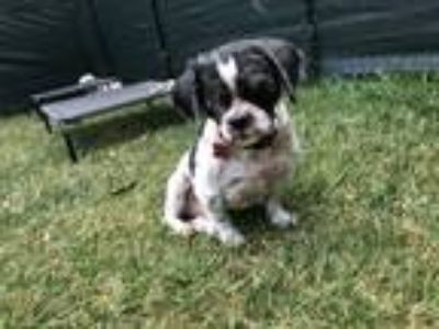 Adopt Sidney a White - with Black Shih Tzu / Mixed dog in Encino, CA (25570404)