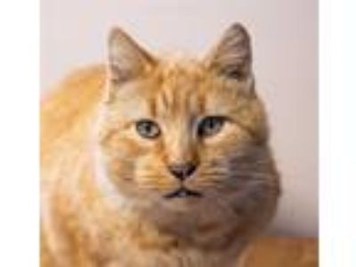 Adopt Fido a Domestic Shorthair / Mixed cat in San Luis Obispo, CA (25363258)