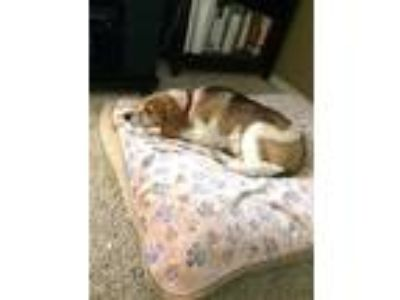 Adopt Gloria a Tricolor (Tan/Brown & Black & White) Beagle / Mixed dog in