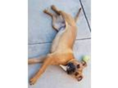 Adopt Cookie a Boxer, Mixed Breed