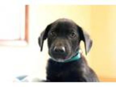Adopt Easton a Black Labrador Retriever