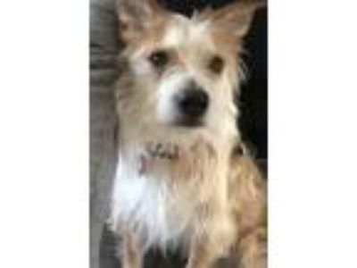 Adopt Henry a Jack Russell Terrier
