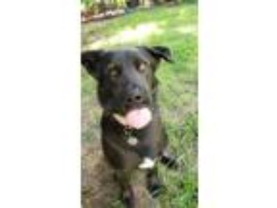 Adopt Zeus a Black Labrador Retriever, Shepherd