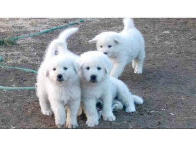 LIVESTOCK GUARDIANS, PUREBRED GREAT PYRENEES PUPPIES, READY ...