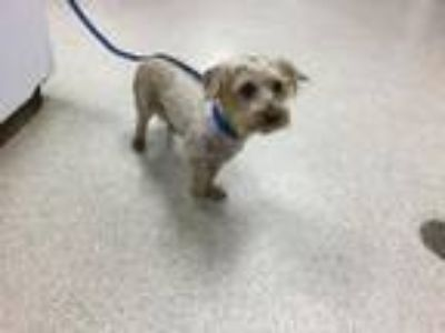 Adopt Dog a Yorkshire Terrier