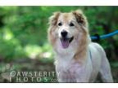 Adopt Shane a Red/Golden/Orange/Chestnut Border Collie / Golden Retriever /