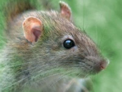 Rodent Control and Removal in Atlanta