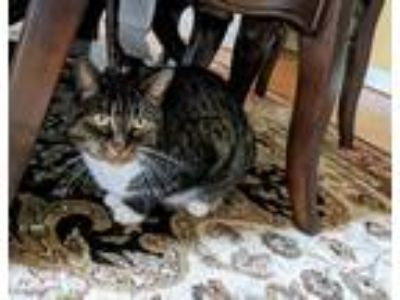 Adopt Truffle a Gray, Blue or Silver Tabby Domestic Shorthair / Mixed cat in