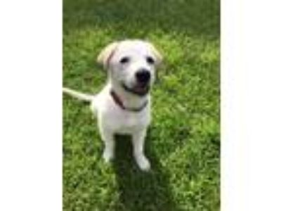 Adopt Belle a Great Pyrenees