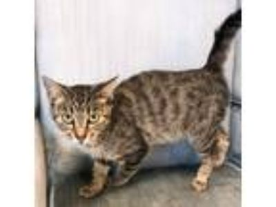 Adopt Kimmie a Brown or Chocolate Domestic Shorthair cat in Woodstock