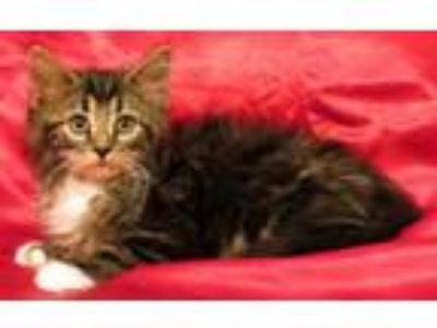 Adopt Gavin a Domestic Long Hair