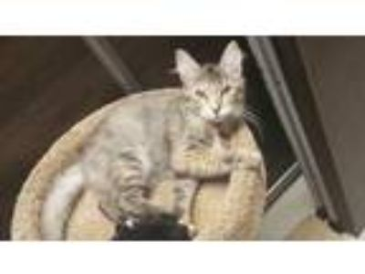 Adopt Gator Girl a Brown or Chocolate Domestic Mediumhair / Domestic Shorthair /