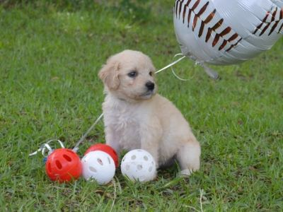 Goldendoodle PUPPY FOR SALE ADN-77800 - F1 standard Goldendoodles