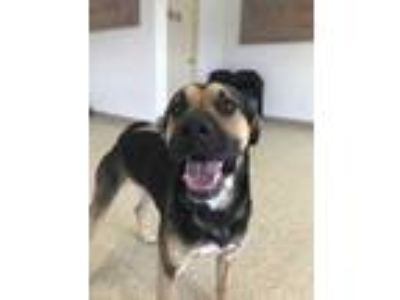 Adopt Duke a Black Shepherd (Unknown Type) / American Pit Bull Terrier / Mixed