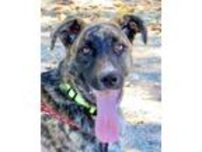 Adopt Milo a German Shepherd Dog, Labrador Retriever