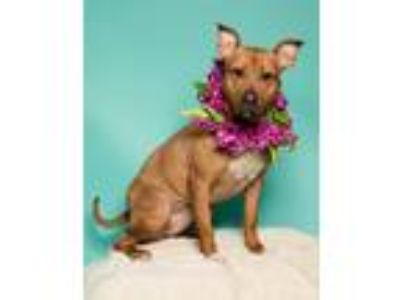 Adopt Brandy a Tan/Yellow/Fawn - with White Pit Bull Terrier / Mixed dog in