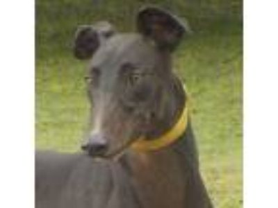 Adopt NINJA (Prison Trained) a Greyhound