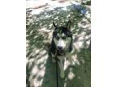 Adopt Fallen a Black - with Gray or Silver Siberian Husky / Mixed dog in