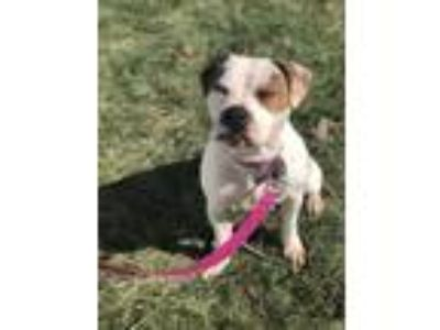 Adopt Molly a White - with Brown or Chocolate American Pit Bull Terrier dog in