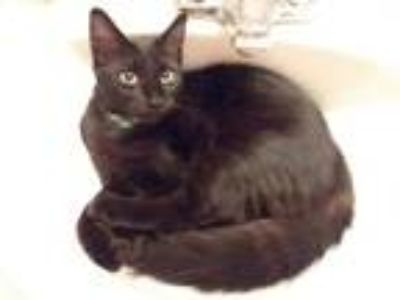 Adopt Napoli a All Black Domestic Shorthair (short coat) cat in Trevose