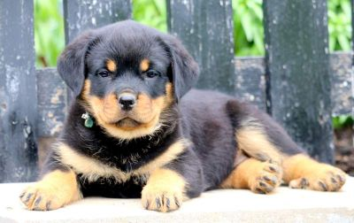 Rottweiler PUPPY FOR SALE ADN-79220 - Rottweiler Puppy for Sale