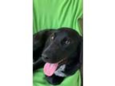 Adopt Lisa a Labrador Retriever