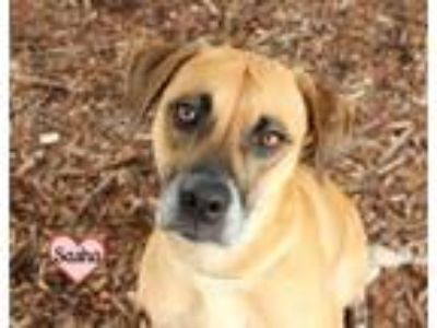Adopt SASHA a Vizsla, Black Mouth Cur