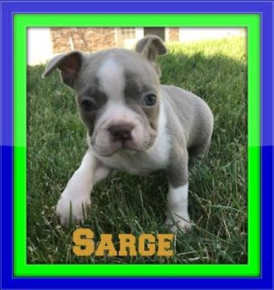 Sarge Male AKC Boston Terrier