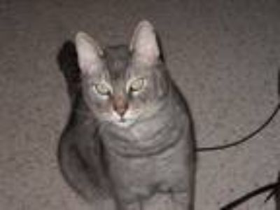 Adopt Smokey a Gray or Blue Domestic Shorthair / Mixed cat in Weed