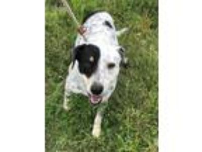 Adopt Gus a Australian Cattle Dog / Blue Heeler, Border Collie