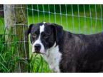 Adopt Jordan a Boxer, Beagle