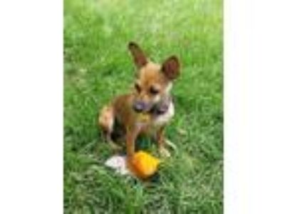 Adopt Twiggy a Red/Golden/Orange/Chestnut - with White Miniature Pinscher /