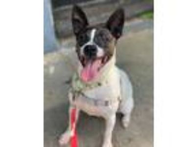 Adopt Jeff a Rat Terrier / Mixed dog in Pittsburgh, PA (25627089)