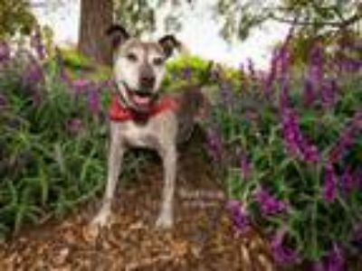 Adopt HALO a Pit Bull Terrier