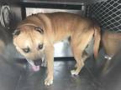 Adopt Cragan a Tan/Yellow/Fawn American Pit Bull Terrier / Mixed dog in Fort