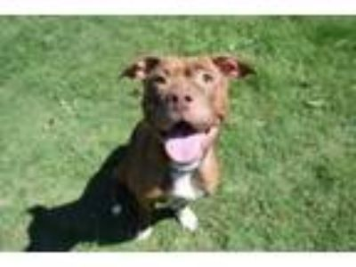 Adopt Bejeweled a Staffordshire Bull Terrier, Mixed Breed