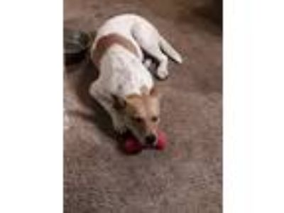 Adopt Roxy a White - with Red, Golden, Orange or Chestnut Terrier (Unknown Type