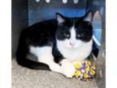 Adopt Faya a Domestic Shorthair / Mixed (short coat) cat in Irving