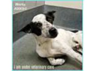 Adopt MARTY a White - with Black Border Collie / Mixed dog in San Antonio