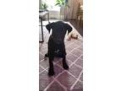 Adopt Knox a Labrador Retriever / Pit Bull Terrier / Mixed dog in Laingsburg