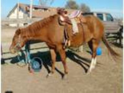 Beautiful flashy solid 3yr old gentle smart QH mare