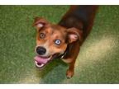 Adopt Slick a Brown/Chocolate - with Black Mixed Breed (Medium) dog in Kennesaw