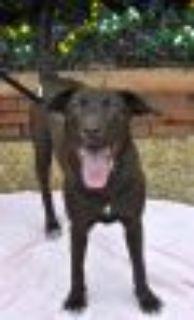 Mariah Chocolate Labrador Retriever - Weimaraner Dog