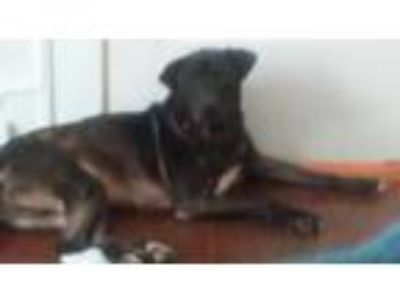 Adopt Connor a Black - with White Labrador Retriever / American Pit Bull Terrier