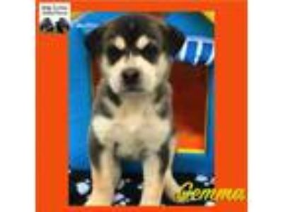 Adopt Puppies a Husky, Labrador Retriever