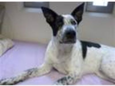 Adopt Jeremy a Shepherd (Unknown Type) / Blue Heeler / Mixed dog in Madison