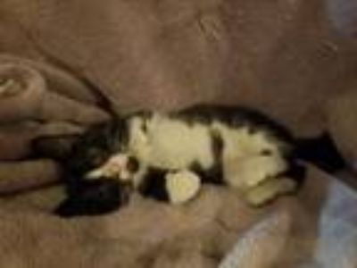 Adopt George (Needs Foster) a Domestic Shorthair / Mixed cat in Washington