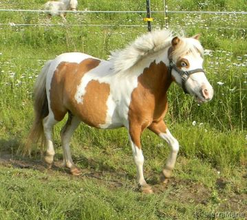 Registered Miniature Mares- Exposed for 2018