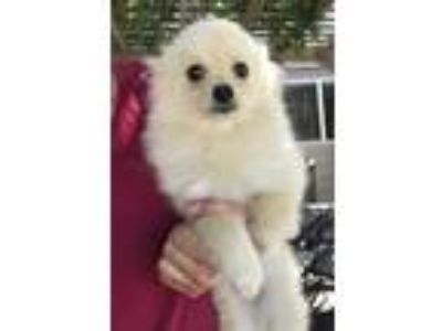Adopt BooBoo a White Terrier (Unknown Type, Small) / Mixed dog in Temecula