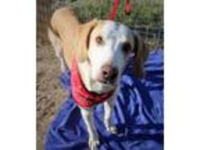 Adopt Paddy a Treeing Walker Coonhound / Pointer / Mixed dog in Ocala
